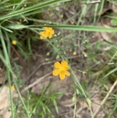 Hypericum gramineum (Small St Johns Wort) at Ginninderry Conservation Corridor - 23 Feb 2021 by Eland