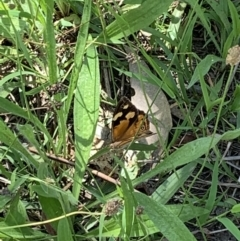 Heteronympha merope (Common Brown) at Ginninderry Conservation Corridor - 23 Feb 2021 by Eland