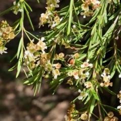 Lipotriches (Austronomia) ferricauda (Halictid bee) at Aranda, ACT - 22 Feb 2021 by KMcCue
