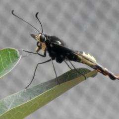 Papilio anactus (Dainty Swallowtail) at Aranda, ACT - 23 Feb 2021 by KMcCue