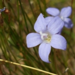 Wahlenbergia sp. (Bluebell) at Tennent, ACT - 23 Feb 2021 by tpreston