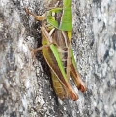 Praxibulus sp. (genus) (A grasshopper) at Gibraltar Pines - 23 Feb 2021 by tpreston
