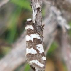 Lepidoscia (genus) (Unidentified cone case moth) at Paddys River, ACT - 23 Feb 2021 by tpreston