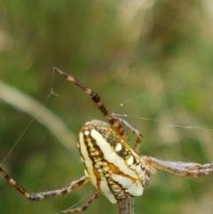 Plebs bradleyi (Enamelled Spider) at Gibraltar Pines - 23 Feb 2021 by tpreston