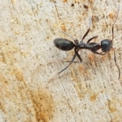 Iridomyrmex mayri at Namadgi National Park - 23 Feb 2021 by tpreston