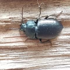 Adelium subdepressum (Darkling Beetle) at Cotter River, ACT - 23 Feb 2021 by tpreston