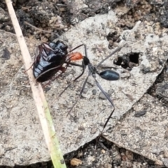 Leptomyrmex erythrocephalus (Red-headed Spider Ant) at Namadgi National Park - 23 Feb 2021 by tpreston