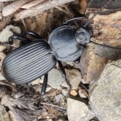 Cardiothorax monarensis (Darkling beetle) at Cotter River, ACT - 23 Feb 2021 by tpreston