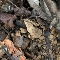 Myrmecia pyriformis (A Bull ant) at Murrumbateman, NSW - 23 Feb 2021 by SimoneC