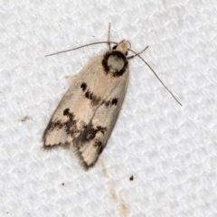 Compsotropha selenias (A Concealer moth) at Melba, ACT - 9 Feb 2021 by Bron