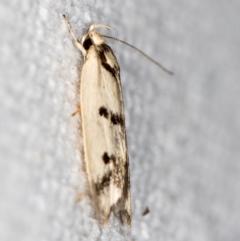 Compsotropha selenias at Melba, ACT - 9 Feb 2021