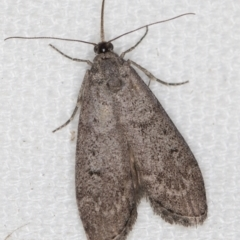 Heteromicta pachytera (Pyralid moth) at Melba, ACT - 9 Feb 2021 by Bron