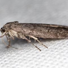 Heteromicta pachytera at Melba, ACT - 9 Feb 2021
