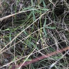 Desmodium varians (Slender Tick-trefoil) at Hughes Garran Woodland - 23 Feb 2021 by ruthkerruish