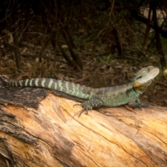 Intellagama lesueurii (Eastern Water Dragon) at Namadgi National Park - 22 Feb 2021 by Jek