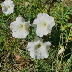Petunia sp. (Petunia) at Queanbeyan West, NSW - 21 Feb 2021 by Speedsta