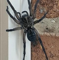 Tasmanicosa sp. (genus) (Unidentified Tasmanicosa wolf spider) at Queanbeyan West, NSW - 4 Jan 2021 by Speedsta