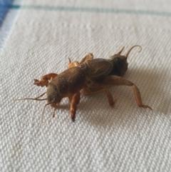 Gryllotalpa sp. (genus) (Mole Cricket) at Queanbeyan West, NSW - 30 Dec 2020 by Speedsta