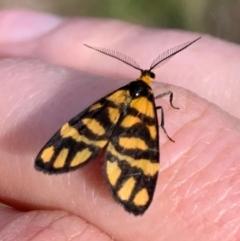 Asura lydia (Lydia Lichen Moth) at Ginninderry Conservation Corridor - 23 Feb 2021 by Eland