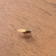 Unidentified True fly (Diptera) (TBC) at Queanbeyan West, NSW - 18 Dec 2020 by Speedsta