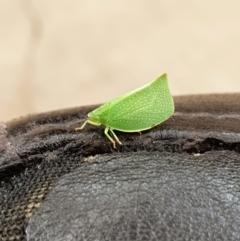 Siphanta acuta (Green planthopper, Torpedo bug) at Queanbeyan East, NSW - 29 Nov 2020 by Speedsta
