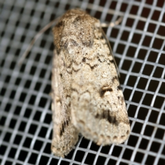 Proteuxoa capularis (Half-moon Noctuid) at O'Connor, ACT - 22 Feb 2021 by ibaird
