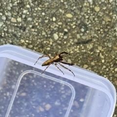 Helpis minitabunda (Jumping spider) at Queanbeyan West, NSW - 3 Nov 2020 by Speedsta