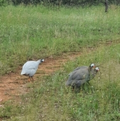Numida meleagris (Helmeted Guineafowl) at Hume, ACT - 2 Nov 2020 by Speedsta