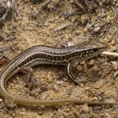 Ctenotus orientalis (Oriental Striped-skink) at Molonglo River Park - 13 Feb 2021 by BrianHerps