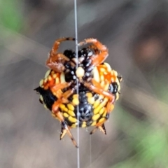 Austracantha minax (Christmas Spider, Jewel Spider) at Ginninderry Conservation Corridor - 23 Feb 2021 by Eland