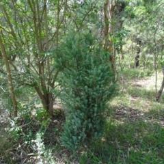 Juniperus communis (Juniper) at - 23 Feb 2021 by Mike