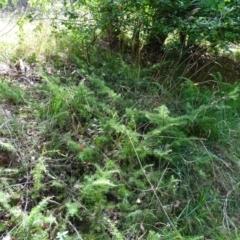 Juniperus communis (Juniper) at Isaacs, ACT - 23 Feb 2021 by Mike