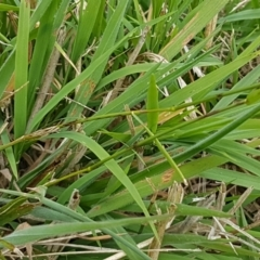 Microlaena stipoides at Franklin Grassland Reserve - 24 Feb 2021