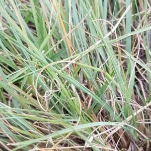 Eragrostis curvula at Franklin Grassland Reserve - 24 Feb 2021
