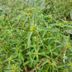 Euphorbia davidii (David's Spurge) at Jerrabomberra, ACT - 23 Feb 2021 by Mike