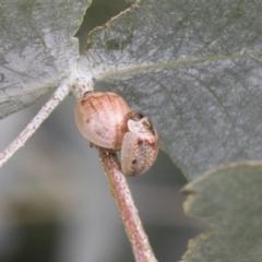 Paropsisterna m-fusca (Eucalyptus Leaf Beetle) at Higgins, ACT - 24 Feb 2021 by AlisonMilton