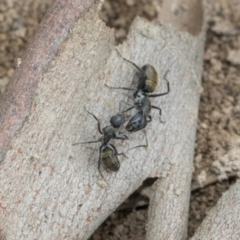 Camponotus aeneopilosus (A Golden-tailed sugar ant) at Higgins, ACT - 8 Feb 2021 by AlisonMilton