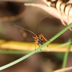 Echthromorpha intricatoria (White-spotted ichneumon) at Tidbinbilla Nature Reserve - 23 Feb 2021 by RodDeb