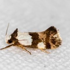 Placocosma resumptella (A Concealer moth) at Melba, ACT - 9 Feb 2021 by Bron