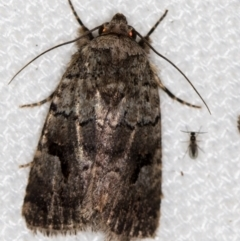 Thoracolopha verecunda (A Noctuid moth (group)) at Melba, ACT - 9 Feb 2021 by Bron