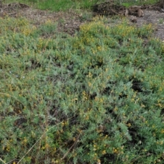Chrysocephalum apiculatum (Common Everlasting) at Red Hill Nature Reserve - 23 Feb 2021 by JackyF