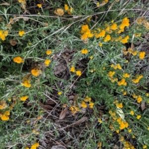 Chrysocephalum apiculatum at Red Hill Nature Reserve - 23 Feb 2021