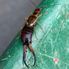 Forficula auricularia (European Earwig) at Murrumbateman, NSW - 24 Feb 2021 by SimoneC