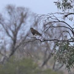 Falco berigora (Brown Falcon) at Paddys River, ACT - 23 Feb 2021 by RodDeb