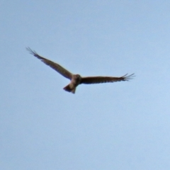 Circus approximans (Swamp Harrier) at Paddys River, ACT - 23 Feb 2021 by RodDeb