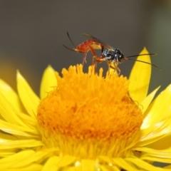 Ichneumonidae sp. (family) (TBC) at ANBG - 19 Feb 2021 by TimL