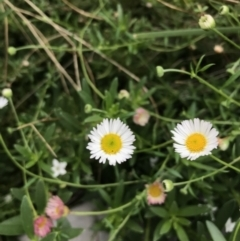 Erigeron karvinskianus (Seaside Daisy) at City Renewal Authority Area - 22 Feb 2021 by Tapirlord