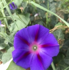 Ipomoea purpurea (Common Morning Glory) at City Renewal Authority Area - 23 Feb 2021 by Tapirlord