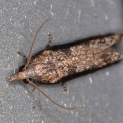 Strepsicrates infensa (A Tortricid moth) at Melba, ACT - 7 Feb 2021 by Bron