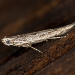 Gracillariidae (family) (A leafminer moth) at Melba, ACT - 7 Feb 2021 by Bron